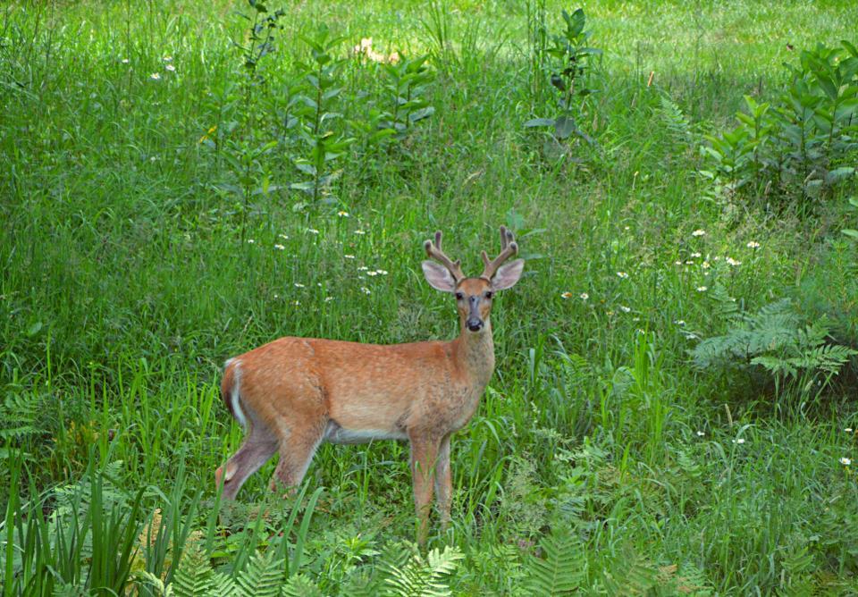 Michigan Whitetail Buck In Velvet